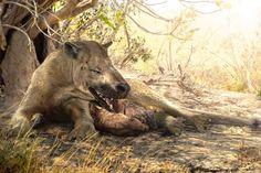 """Una hembra de Harpagolestes o Mongolestes pasa el rato con sus cachorrillos, a la sombra. Esta criatura era un mesoniquio (término prestado del griego y que significa """"garra pequeña""""), relacionado con los artiodáctilos (mamíferos ungulados, como las cabras o las jirafas) y los cetáceos (¡). Como ven, era más o menos como un enorme lobo-hiena. Por Velizar Simeonovsky"""