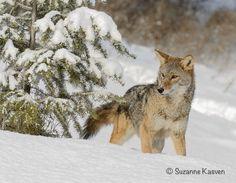 Suzanne Kasven - coyotes