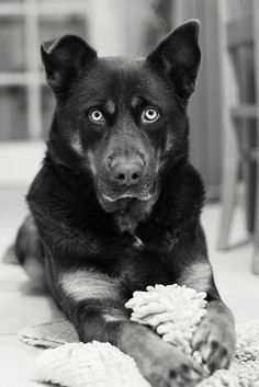#Dog Those eyes... not sure whether he's getting ready to maul someone or patiently waiting to play ball...