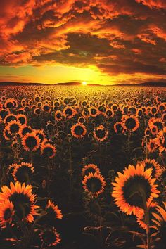 Image about nature in sunflower 🌻 by Nijah ✨ on We Heart It Sunflower Iphone Wallpaper, Flower Phone Wallpaper, Sunset Wallpaper, Cute Wallpaper Backgrounds, Pretty Wallpapers, Phone Backgrounds, Trendy Wallpaper, Aesthetic Pastel Wallpaper, Aesthetic Backgrounds