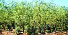 Sandalwood Cultivation.