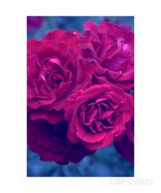 Purple Garden Roses Photographic Print by Alaya Gadeh at AllPosters.com