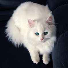 Persian cat with green eyes