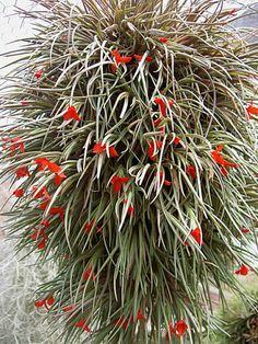 Immagine di http://www.exoticplantcompany.co.za/oid%5Cimages%5C2%5C251_1_6_09_05_AM_albertiana%202.jpg.