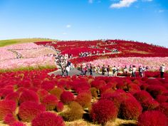Behold The Bright Red Beauty Of Kochia Hill Japan  Lazer Horse