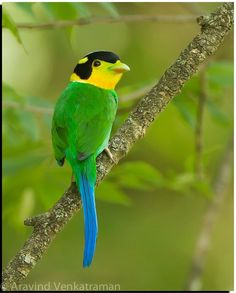 Long Tailed Broadbill @ Sattal, India
