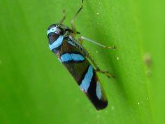 Cicadelido