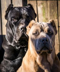 """Outlaw's Superman """"Hero"""" and Outlaw's Lethal Weapon """"Ammo"""" Beautiful Beasts, Ultimate Natural Guard Dogs"""