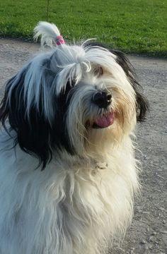 Tibet Terrier ...my baby..Emma