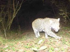 Jaguar at Sierra Gorda