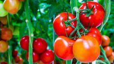 Hnojivo z chleba funguje na rajčata lépe než drahé chemické přípravky Pruning Tomato Plants, Tomato Fertilizer, Tomato Seedlings, Fertilizer For Plants, Potted Plants, Vegetable Garden Tips, Veg Garden, Garden Web, Balcony Garden
