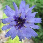 Catananche Caerulea Amour Blue
