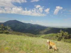 My golden, Belle, with me in the Highwood Mtns, Montana