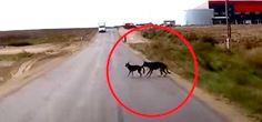 Deux chiens traversent la rue jusqu'à… Attendez de voir ce que le chien derrière fait pour sauver la vie de son ami ! – TFI