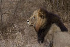 Loser of the fight with another male lion. #malelion #kruger #krugerpark