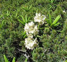 Rhododendron aureum 1 flower, form