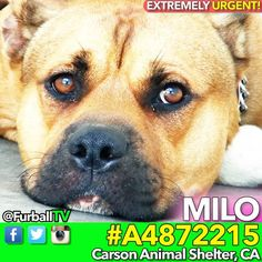 #SaveMILO - #A4872215 ❤️EXTREMELY URGENT CUTIE❤️ IN 62 DAYS!!! (Longer than any other pup) MILO is just 2 years old & so stunning. He has such SOOTHING energy & a sweet personality and he would make an amazing best friend. Look how he loves the human connection if he knows you're coming from a good place. He's scared & rightly so in his situation. He needs our help desperately. Please spread the word about MILO, a foster or adopter would save his life. #PitBull AGE:2 MaleARRIVED:08-3
