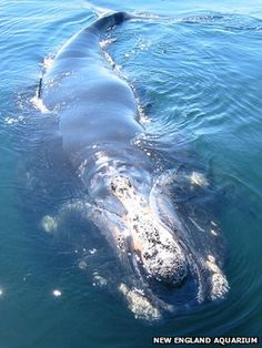 Whales 'stressed by ocean noise' | BBC News | Richard Black