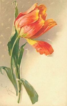 pretty tulip... with snow