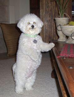 5 Dog Tricks To Teach Your Bichon Frise | Bichon Finder