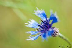 Clavel silvestre   Flickr: Intercambio de fotos