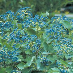 Blue Muffin® - Arrowwood Viburnum - Viburnum dentatum plant a second cultivar to encourage berry production for birds Summer Flowers, Colorful Flowers, White Flowers, Beautiful Flowers, White Plants, All Plants, Garden Plants, Backyard Plants, Flower Gardening