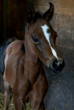 Precious foal with a beautiful face and blaze.