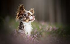 Lataa kuva Chihuahua, pieni koira, söpöjä eläimiä, bokeh, koriste koiria