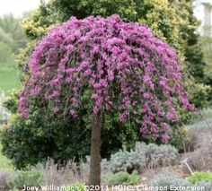 The dappled willow or variegated patio willow makes a perfect accent covey lavender twist weeping redbud cercis canadensis covey rosy pink flowers completely cover bare weeping branches in early spring fall color of mightylinksfo