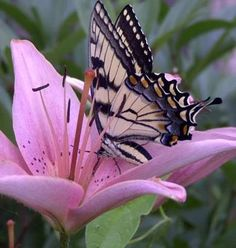 Swallowtail on pink lily  /  This is the type of photograph that brings out an oooh  or awwww.  It is so gentle and beautiful.