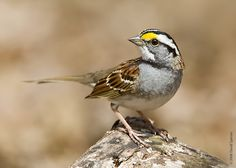 white-throated sparrow. This little guy has the most innocent sounding and sweet song.