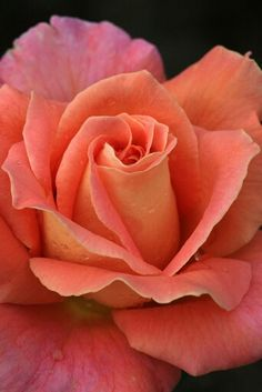 My Dad gave me peach/coral colored roses for my birthday several years ago. I will never forget the smell of those beautiful roses and the wonderful feeling of love I had when I received them. All Flowers, Amazing Flowers, My Flower, Beautiful Roses, Beautiful Gardens, Beautiful Flowers, Send Flowers, Birth Flower, Pretty Roses