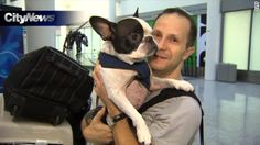 Simba the French bulldog is probably alive today because of the attentiveness of an Air Canada pilot.