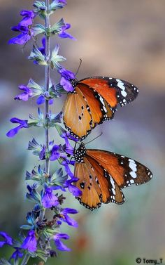 Butterfly by Tomy Tetro~~ Painted ladies, so beautiful Beautiful Bugs, Beautiful Butterflies, Beautiful Flowers, Butterfly Kisses, Butterfly Flowers, Blue Butterfly, Beautiful Creatures, Animals Beautiful, Flying Flowers