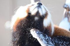 ギンちゃん、エイタ君と同居中。  Red pandas レッサーパンダ 小熊猫