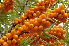 Облепиха для вашего сада: сорта, посадка и уход, особенности выращивания