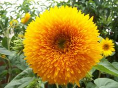 Sungold Tall Sunflower is a tall teddy bear-type that is different than regular types. Large plants produce stunning, fully-doubled yellow flowers that resemble a soft, fluffy pillow. Sunflower Images, Sunflower Flower, Sunflower Seeds, Cactus Flower, Sunflower Garden, Annual Flowers, All Flowers, Yellow Flowers, Large Plants