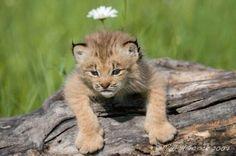 soft kitty brown kitty big ball of fur