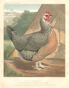 Antique Chicken Print, Dorking Hen