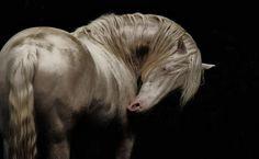 baroque horses | Baroque Horse Marketing shared Elevage Dos Prados, Chevaux ...