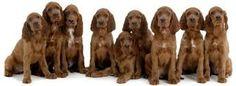 9 setter puppy's op een rij....