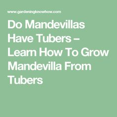 Do Mandevillas Have Tubers – Learn How To Grow Mandevilla From Tubers