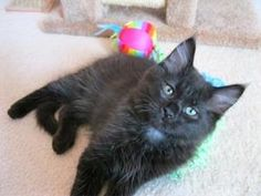 Pierre is an adoptable Domestic Short Hair-Black Cat in Vancouver, WA.  ...