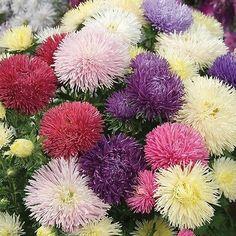 50+ Aster Needle Unicom Mix Flower Seeds , Under The Sun Seeds