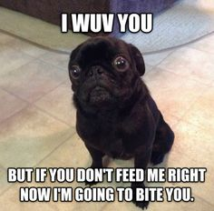 puggy Funny Pug Videos, Funny Animal Jokes, Funny Dog Memes, Cute Funny Animals, Animal Memes, Funny Dogs, Animal Humor, Animal Quotes, Pug Pictures