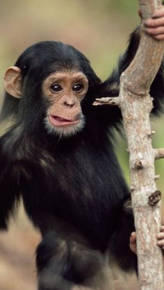 Endangered baby chimpanzee being hunted for their bush meet in many of the African cultures rain forest animals Et Wallpaper, Monkey Wallpaper, Animal Wallpaper, Safari Animals, Cute Baby Animals, Funny Animals, Wild Animals, Forest Animals, Photos Singe
