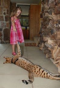 Savannah cat.  To my knowledge, large though savannahs are for house cats, none has ever tried to eat anyone.
