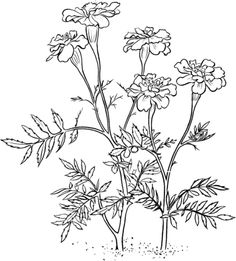 Click to see printable version of Marigold 2 coloring page