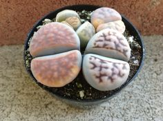Hey, I found this really awesome Etsy listing at https://www.etsy.com/listing/156744582/succulent-plant-lithops-stoneface