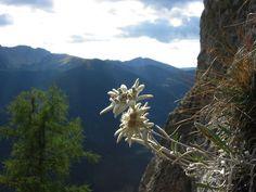 Free Download HD Beautiful Edelweiss Flower Wallpaper